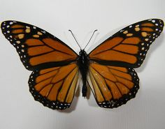 Hey, I found this really awesome Etsy listing at https://www.etsy.com/listing/240075141/monarch-butterfly-display