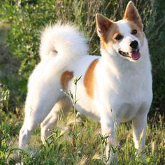 Norrbottenspets Dog Breed Profile