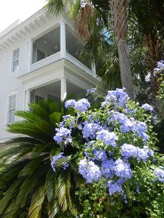 Easy to grow in Florida and pretty..Blue Flowering Plumbago + Palms