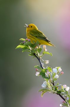 Yellow Wabler on flowered limb singing with soft colorful bokeh. #beautiful #bokeh #photography #colorful #singing #spring #yellow warbler