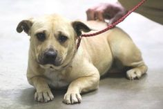 ADOPTED>NAME: Morgan  ANIMAL ID: 34562189  BREED: Staffie mix  SEX: female  EST. AGE: 2 yr  Est Weight: 33 lbs  Health: Heartworm neg Right luxating patella (lateral and medial) 3/4. left patella is firm. a/p: fleas. gave Bravecto. right luxating patella. surgical repair is an option. does not appear painful Temperament: dog friendly, people friendly  ADDITIONAL INFO: RESCUE PULL FEE: $35  Intake date: 2/9  Available: Now