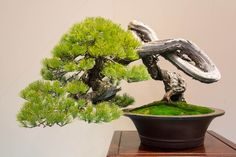 White pine / http://dupuich.smugmug.com/Japan-2014/Bonsai-pics/Kokufu/i-ZSWmFsL/A