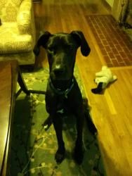 Abby is an adoptable Great Dane Dog in Jacksonville, NC. Abby is a 1 year old spayed female with natural ears and lots of energy. She is a bit smaller than some danes but what she lacks in size, she m...
