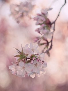 Spring blossom, outside my window #pink