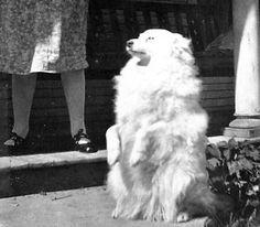 vintage  PHOTO SPITZ DOG TRICK SITS UP BEG ESKIMO PUP  SAMOYED  LADY IN SHADOWS