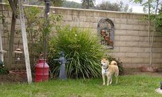 Memories of a beloved family member our 1st SHIBA , shiba , Shiba Inu, dog