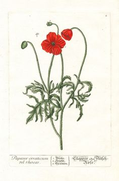 Elizabeth Blackwell Herbarium by Jacob Trew 1757 - Red Poppy
