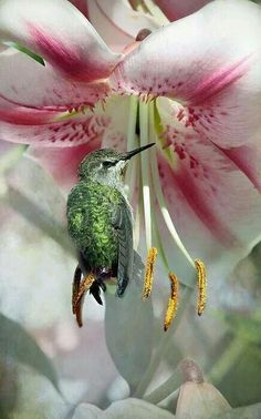 simply-beautiful-world ~~ shows how light the hummingbird is, to be sitting on one of the pistals like that. Pretty Birds, Love Birds, Beautiful Birds, Beautiful World, Animals Beautiful, Cute Animals, Simply Beautiful, Beautiful Gorgeous, Pretty Flowers