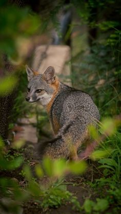 "funkysafari: "" Gray Fox by Oddernod """