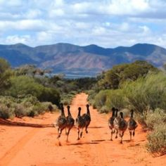 Emu's in the Outback