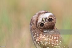 Cute Burrowing Owlet with her head tilted upside down in Cape Coral, Florida. This Owlet has naturally occurring brown eyes which is an interesting genetic variation.