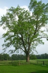 Black Walnut Tree - my Dad planted a dozen or so of these. The squirrels are now planting them all over the property! Outdoor Planters, Outdoor Gardens, Drought Tolerant Trees, Black Walnut Tree, Tree Seedlings, Trees And Shrubs, Oak Tree, Growing Vegetables, Fruit Trees