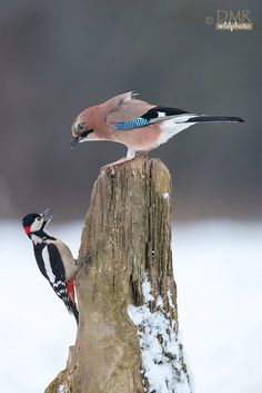 while taking pictures to jays this woodpecker came into scene with a big surprise for both