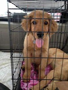 Goodlettsville, TN - Golden Retriever. Meet Ferdinand a Dog for Adoption.