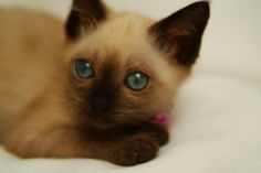 SIAMESE CATS … helping a 1st time owner | tripsandthecity