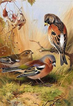 View Brambling and a pair of Chaffinches By Archibald Thorburn; Access more artwork lots and estimated & realized auction prices on MutualArt. Intermediate Colors, Chaffinch, Contemporary Wall Art, Vintage Birds, African Animals, Wildlife Art, Bird Prints, Animal Paintings, Oil Paintings