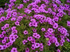 Ültessünk illatos gólyaorr növényt a kertünkbe! Gardens, Google Search, Geraniums, Outdoor Gardens, Garden, House Gardens