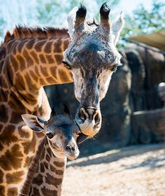Cute Baby Animals: Houston Zoo Masai Giraffe MAMA AND BABY DOING FINE!