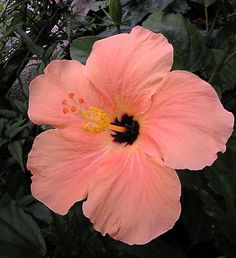 hibiscus flower seeds for planting Hawaii Flowers, Hibiscus Flowers, Flowers Nature, Exotic Flowers, Tropical Flowers, Amazing Flowers, Beautiful Roses, Pretty Flowers, Beautiful Flowers Wallpapers