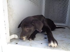 ***SUPER SUPER URGENT!!!*** - PLEASE SAVE BLACKY!! --- Blacky Breed:Labrador Retriever (mix breed) Age: Under 6 months Gender: Female Size: Small Special needs: hasShots, Shelter Information: Delano Animal Shelter 1525 Mettler Avenue Delano, CA Shelter dog ID: 06182015c-d02 Contacts: Phone: 661-721-3377 Name: Delano Animal Control email: SHELTER661@GMAIL.COM Read more at http://www.dogsindanger.com/dog/1434666537154#m6fte2t6QsUYPuDz.99