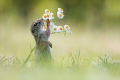 the timid european ground squirrel, stopping to smell the daisies, photographed in vienna by julian rad,