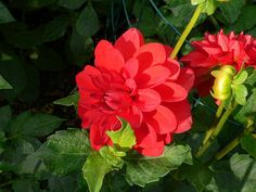 The color red emits thoughts of passion, love, joy and life. Red flowering plants have a dramatic effect when grouped in masses. Create a red colored garden using the tips from this article.