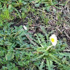 Per chi ha cuore è sempre primavera. #lionhearth #pratolina #pratolinacoraggiosa