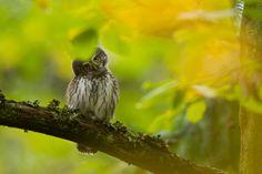 Sowa... Owl in Bialowieza forest