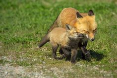 Cape Breton, Painting Tips, Wildlife Photography, Foxes, Animals, Collection, Naturaleza, Animales, Animaux