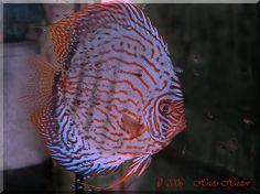 Discus fry.jpg 800×599 pixels