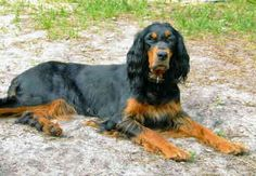 Gordon Setter. Alert, interested and confident as you in its pose. #DogBreeds