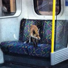 A fox. | 41 Curious Things You See On The Tube