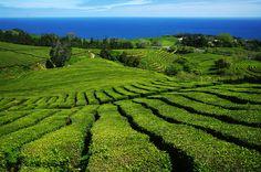 Tea Plantation - Farmland, Plantações de Chá Gorreana, Ilha de São Miguel, Açores, Portugal