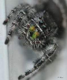 JUMPING SPIDER- I just LOVE these guys! :)