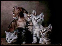 European shorthair kittens - pg.45  Controlla su http://www.zenoarte.com/stampe- poster-roma/ i formati in cui può essere stampata