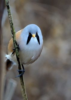Male Bearded Tit head-on | Flickr - Photo Sharing!