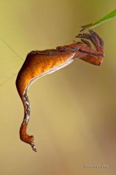 Scorpion-tailed Spider   OKEEEEE... This has got to be the weirdest spider EVER!