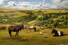 Exmoor Ponies grazing in Exmoor National Park