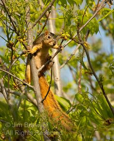 squirrel in a tree    Show Me Nature Photography