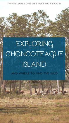 If you love animals, consider visiting Chincoteague Island. A sanctuary for nature - including wild horses! Chincoteague Island things to do | Chincoteague Island top places to visit | Chincoteague Island best things to see | Chincoteague Island wild ponies  | Chincoteague Island itinerary | Chincoteague Island travel guide | Assateague Island national seashore | Where to find Chincoteague ponies | Things to do on Assateague Island | Tips for visiting Assateague Island