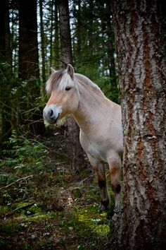 Fjord in the forest - Norwegian Fjord horse - by ©Andrea Blair