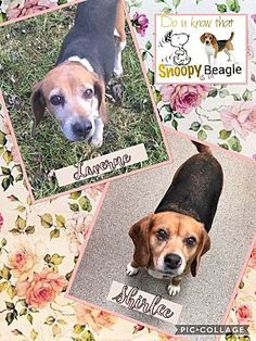 2/18/18 bonded pair!! Pictures of Laverne & Shirlee a Beagle for adoption in Fort Wayne, IN who needs a loving home.