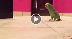 We all know that parrots are experts at mimicking sounds, but this little green parrot takes it to another level when it imitates his owner's laugh...