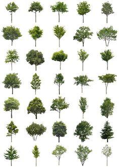 大木の樹木素材