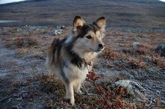 finnish Lapphund photo   Recent Photos The Commons Getty Collection Galleries World Map App ...