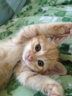cute ginger kitten You are in the right place about small Exotic pets Here we offer you … Kittens And Puppies, Cute Cats And Kittens, Kittens Cutest, Orange Kittens, Pretty Cats, Beautiful Cats, Animals Beautiful, Cute Funny Animals, Cute Baby Animals