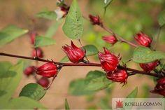 qua-tet-doc-dao Hibiscus, Plants, Blog, Blogging, Plant, Planets