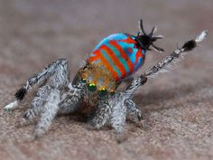 Two new species of peacock spiders have been discovered in Australia via Popular Science.