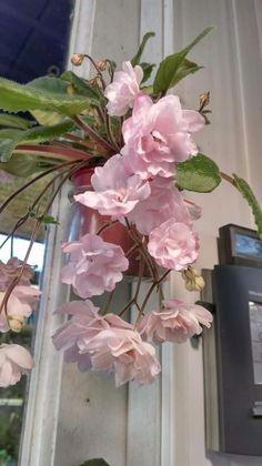 Hanging African Violet plant; https://www.houseplant411.com/houseplant/african-violet-how-to-grow-care