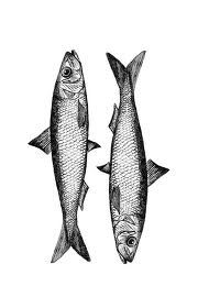 sardine illustration - Google Search